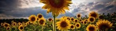 cropped-sunflowers-2.jpg