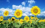 good-view-sunflowers-field