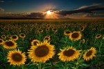 sunflowers-forever_2