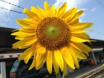 sunflower train