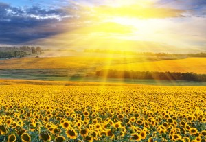sunlight-on-a-sunflower-meadow-fotolia_399079232