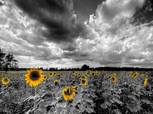 Black-and-White-Sunflower-Background-11