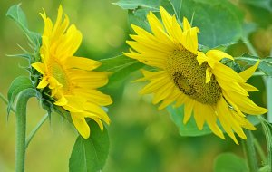 interview_two_sunflowers_by_svitakovaeva-d6e5fz7