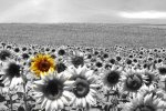 10083017-sunflower-field-all-black--white-except-a-single-flower