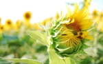 Nature_Flowers_Budding_sunflowers_033042_