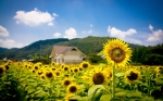 Free-Sunflower-Field-Pictures-10
