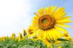 sunflower-festival-zama-japan-gessato-gblog-4