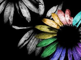 sunflower black rainbow