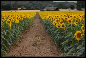 lone sunflower